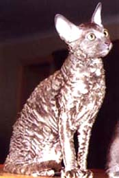 cornish-rex.jpg