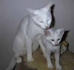 russian-white-cats2.jpg