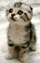 scottish-fold-kitten.jpg